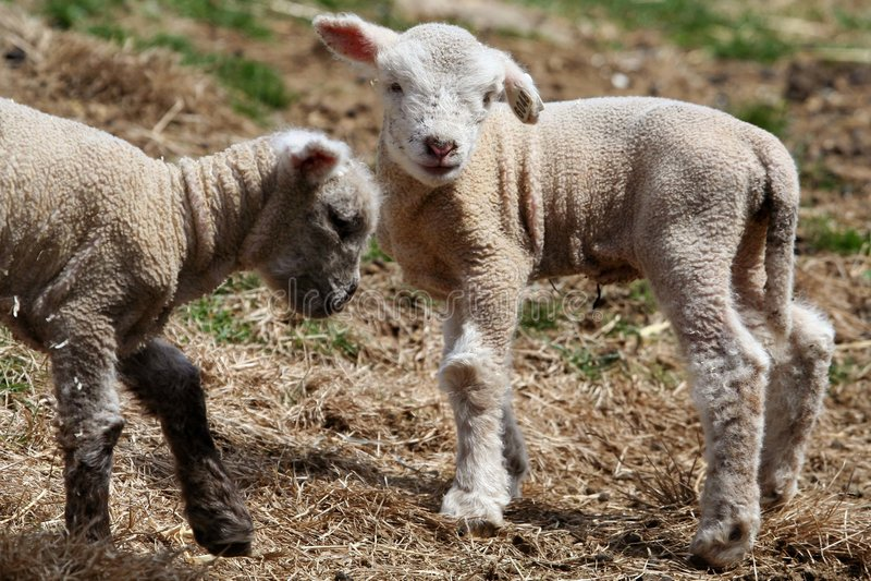 羊羔二 免版税库存图片