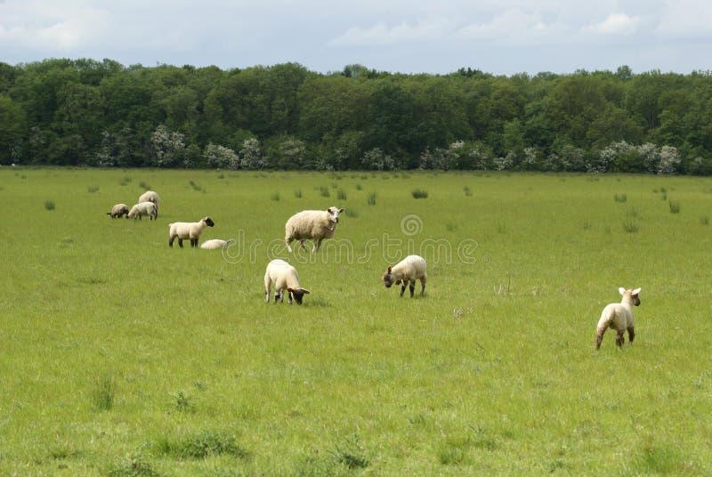 羊羔和母羊在一个领域在春天 绵羊在乡下 库存照片