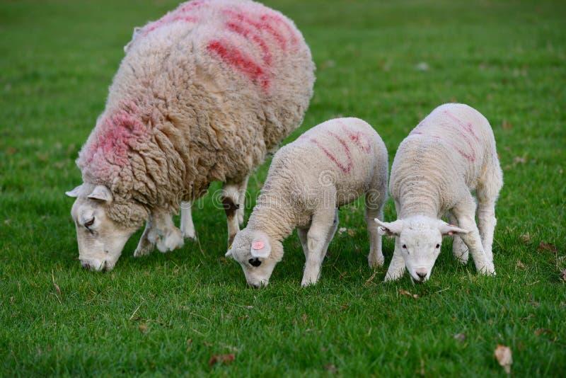 羊羔和绵羊吃草  免版税库存图片
