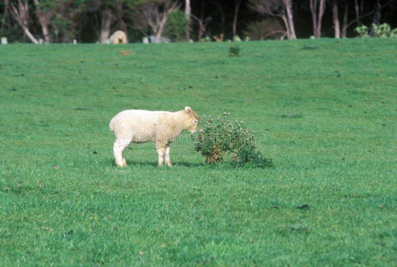 羊羔和绿色风景在新西兰 库存照片