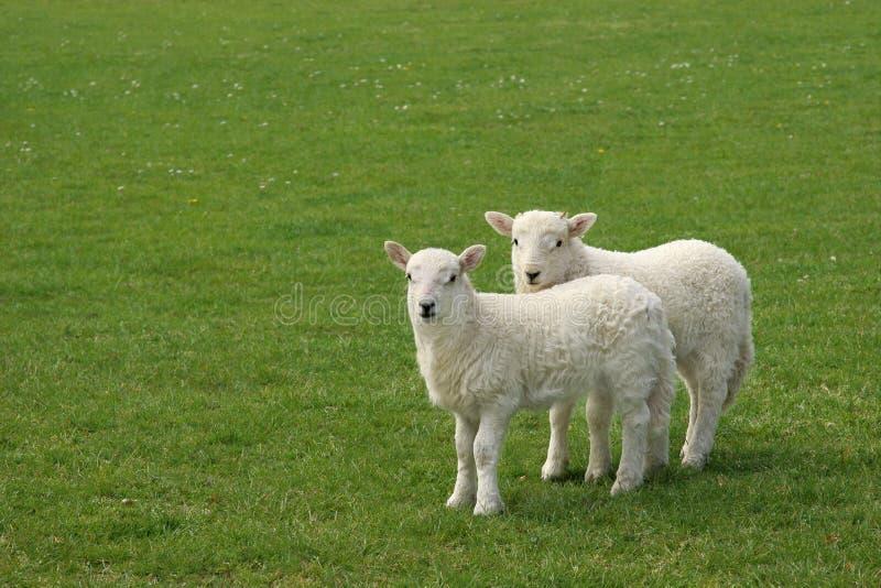 羊羔孪生 库存图片