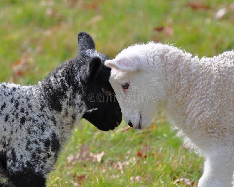 羊羔春天 库存图片