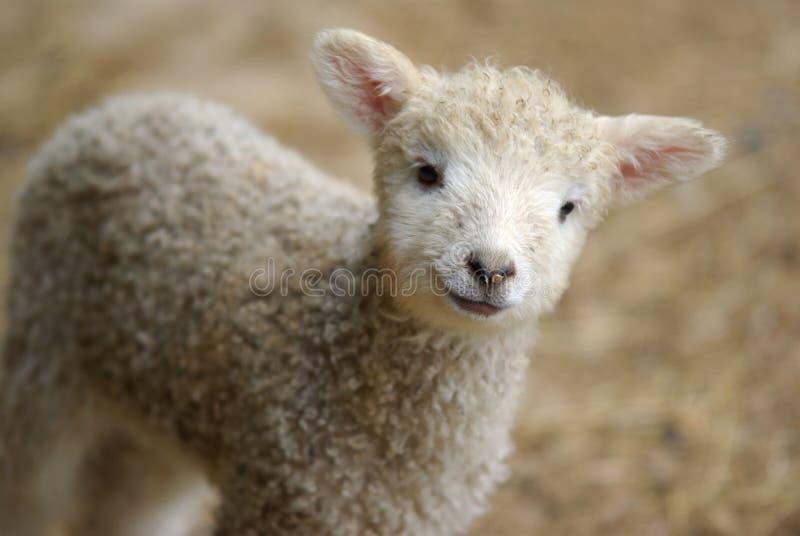 羊羔春天 库存照片