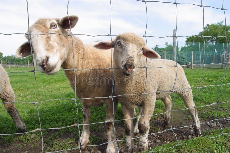 羊羔母亲防护绵羊 免版税库存照片
