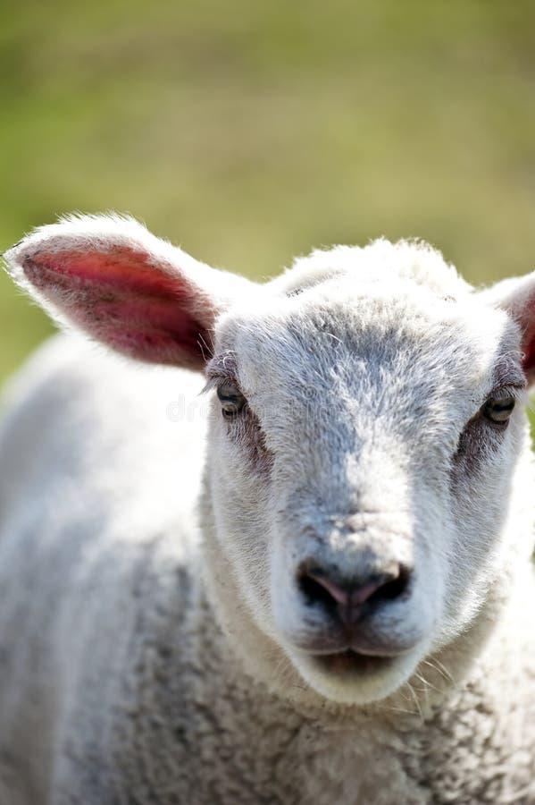 羊羔白色 免版税库存图片