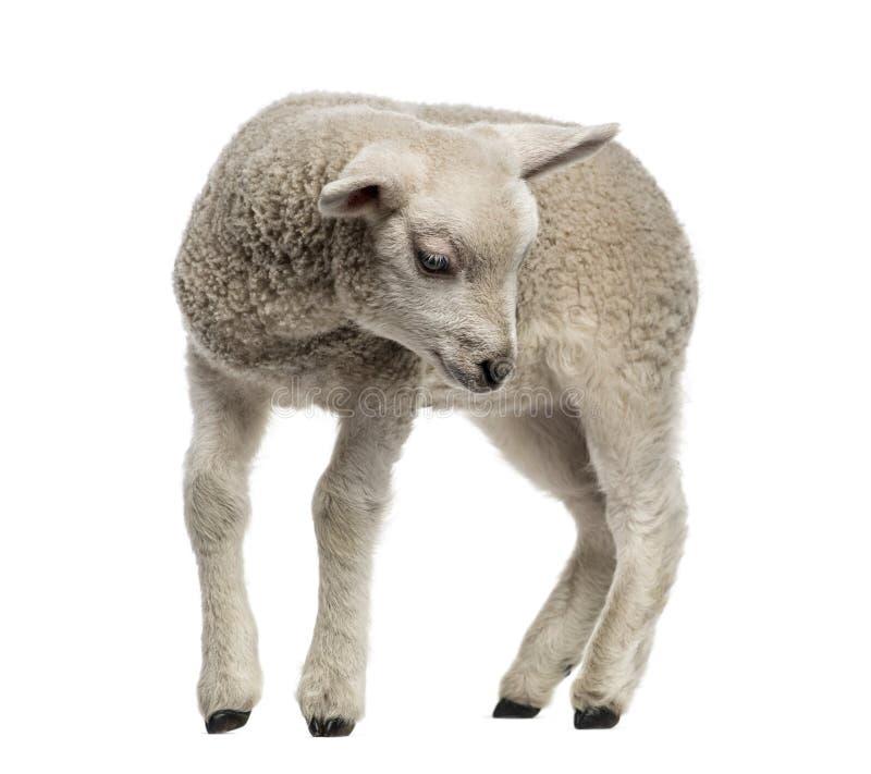 羊羔(8个星期年纪) 免版税库存图片