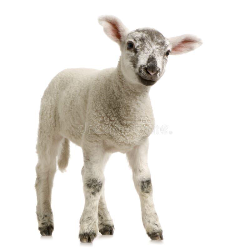 羊羔 免版税库存图片