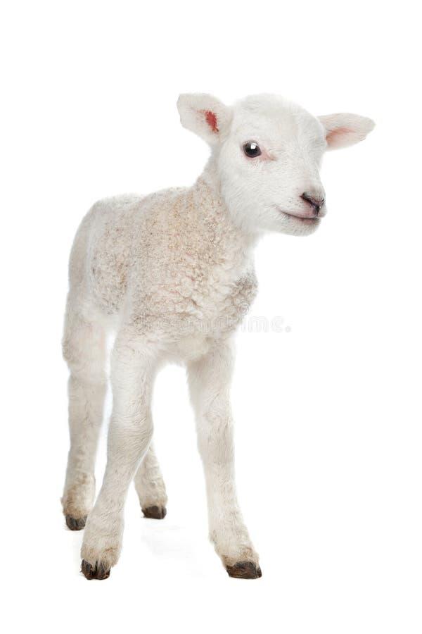 羊羔 免版税图库摄影