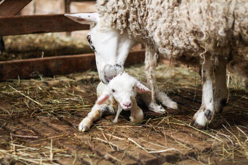 Download 羊羔 库存图片. 图片 包括有 新鲜, 羊羔, 清洁, 微小, 新出生, 绵羊, 硼硅酸盐, 婴孩, 茴香 - 59102543