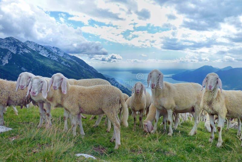 绵羊群在意大利阿尔卑斯 库存照片