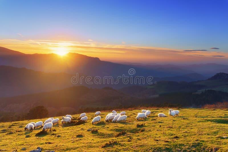 绵羊群在日落的 免版税库存照片