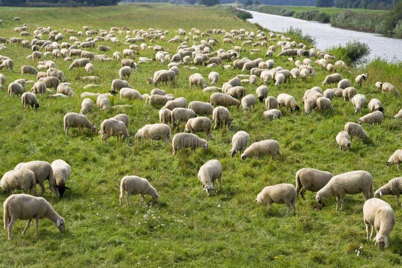 绵羊群  图库摄影