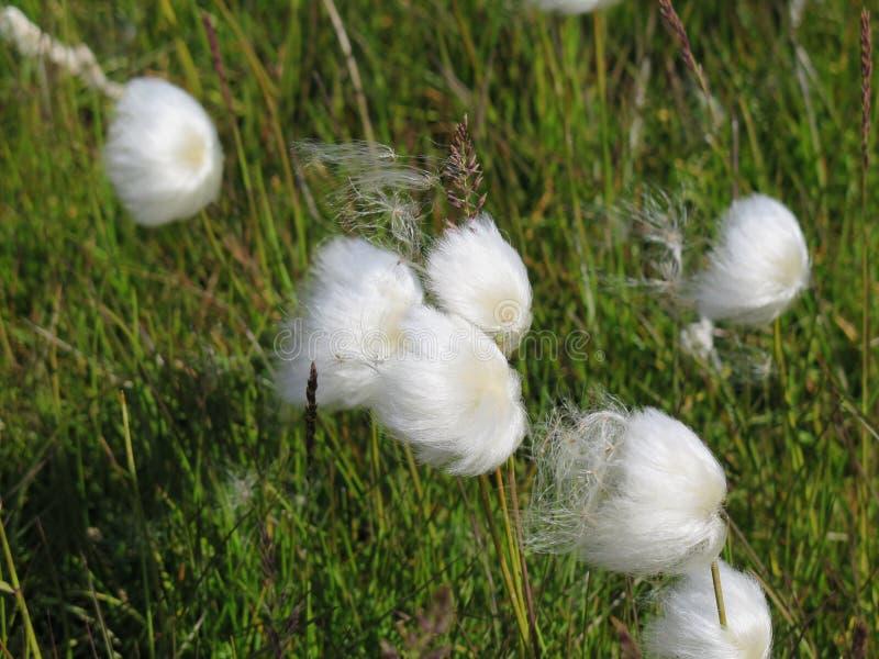 羊胡子草scheuchzeri -在windd的棉花的秀丽 免版税库存图片