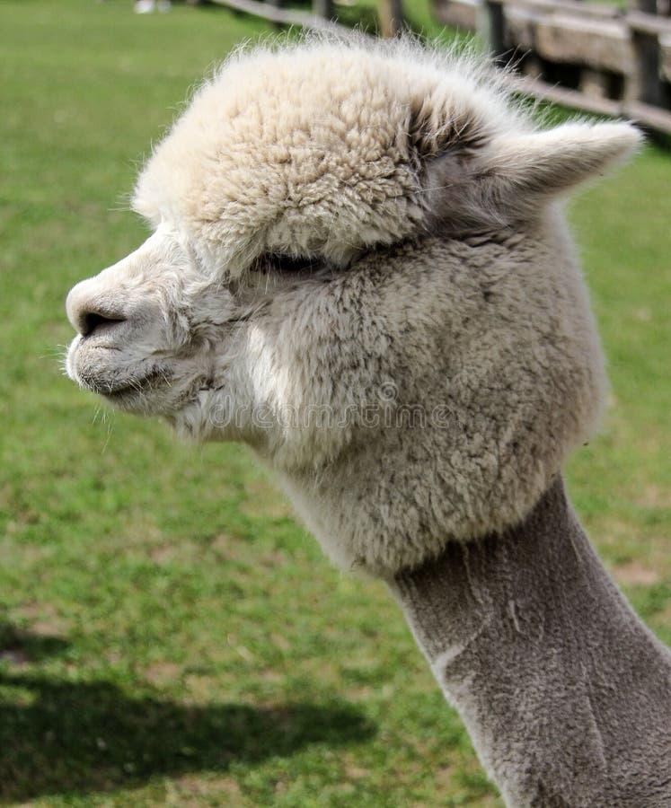 羊魄和骆马与滑稽的发型. 农场, 发型.图片
