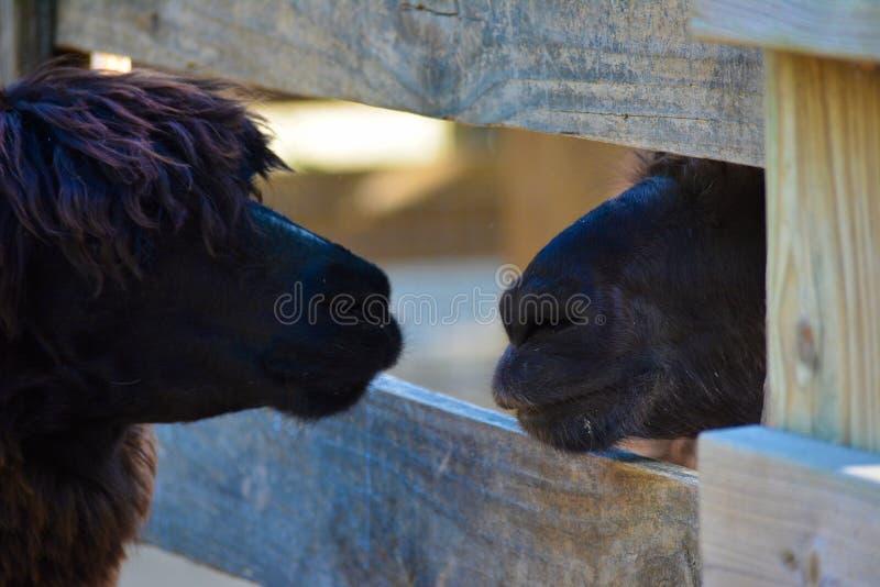 羊魄和骆马农厂朋友 库存照片