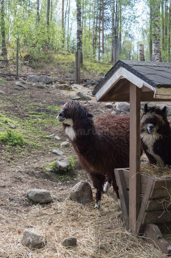 羊魄在饲养者附近的动物园里 库存照片