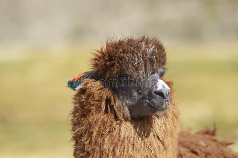 Download 羊魄在Lauca国家公园,智利 库存图片. 图片 包括有 国家, 羊毛, 智利, 耳朵, 公园, 牧群, 立场 - 72353881