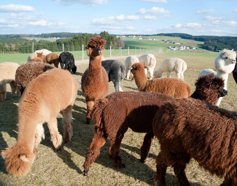 羊魄牧群 库存图片