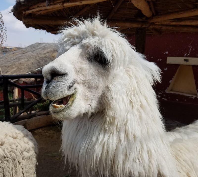 羊魄特写镜头在一个农场在秘鲁 库存照片