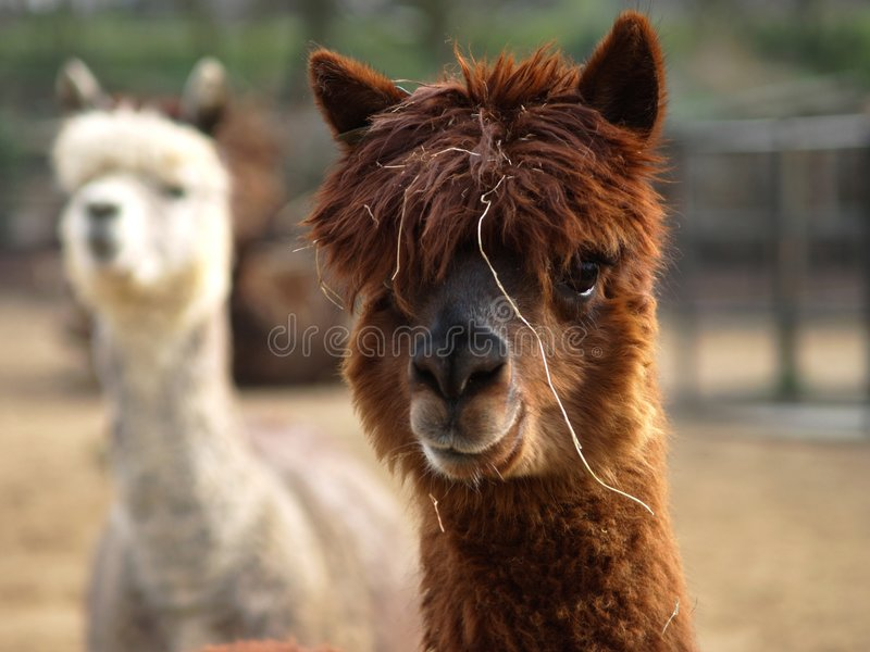 羊魄骆马 免版税库存图片