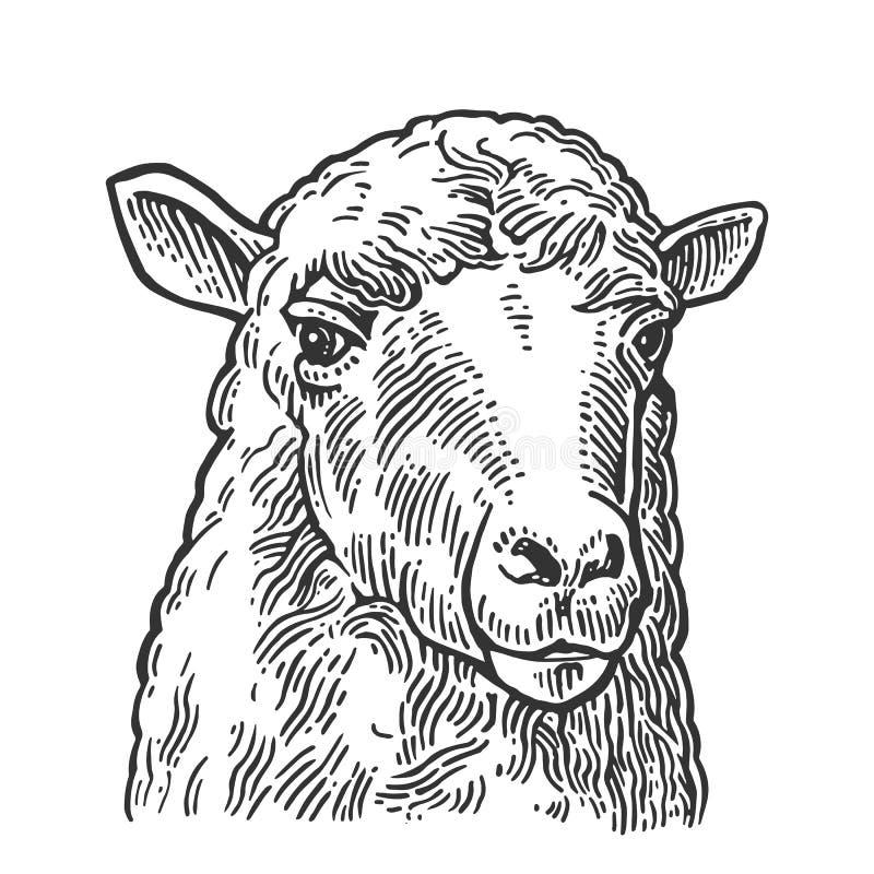 绵羊头 手拉在一个图表样式 葡萄酒信息图表的,海报,网板刻例证 查出在白色 向量例证