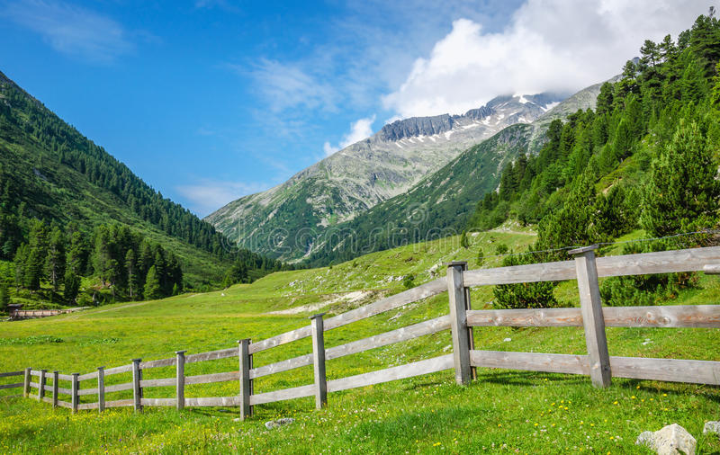 绵羊Zillertal阿尔卑斯的,奥地利木篱芭 免版税库存照片