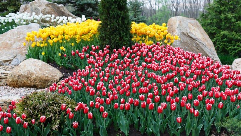 美丽两上色了,红色和白色郁金香花圃 库存图片