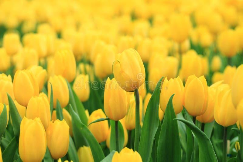 美丽两上色了,黄色和红色郁金香接近  大量  免版税图库摄影