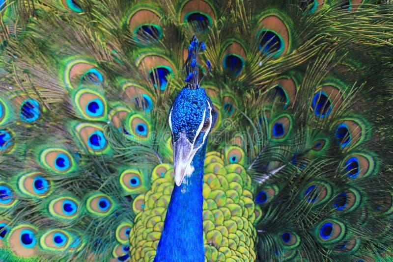 美丽印度孔雀鸟有五颜六色的羽毛背景 免版税库存图片