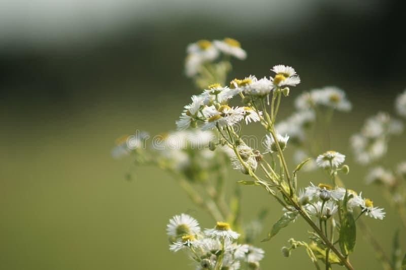 美丽和医治用的雏菊花 免版税库存图片