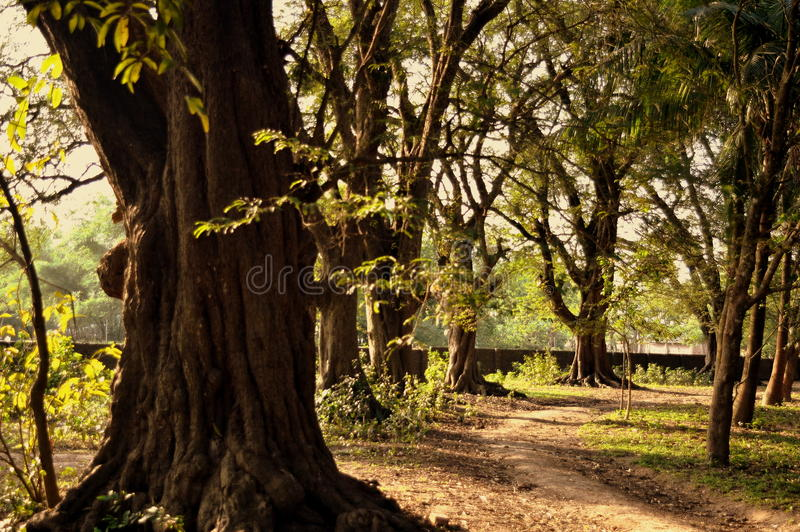 美丽和历史树 库存图片
