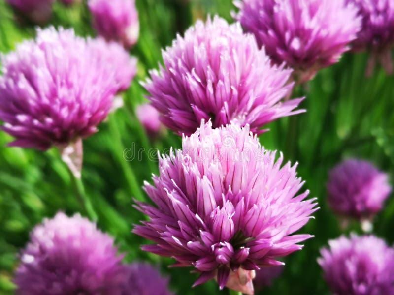 美丽和新鲜的紫罗兰色葱花 免版税库存照片