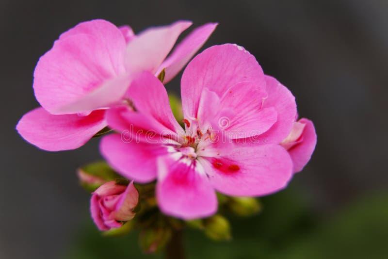美丽和易碎的桃红色花 免版税图库摄影