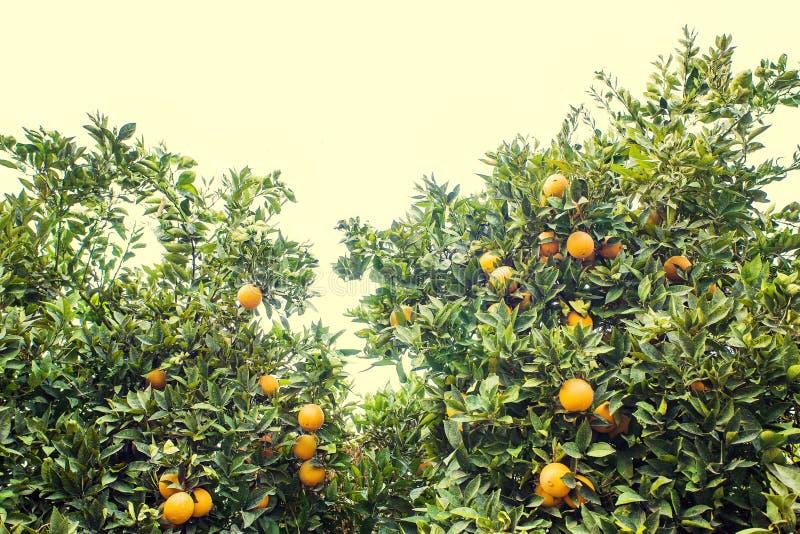 美丽和橙色树丛 库存照片