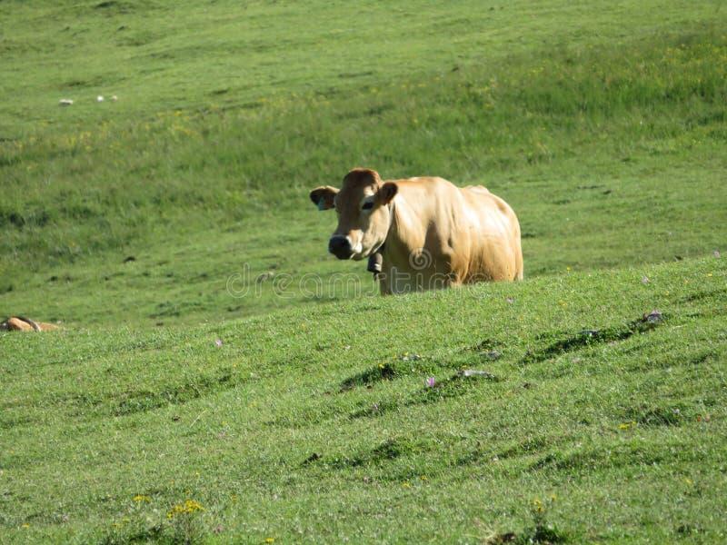 美丽大母牛和好的滋养由山的绿色牧场地 免版税库存图片