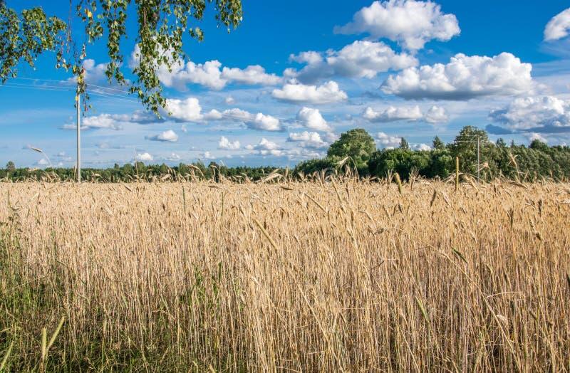 美丽如画的农村风景 麦田和天空与白色云彩 免版税库存图片