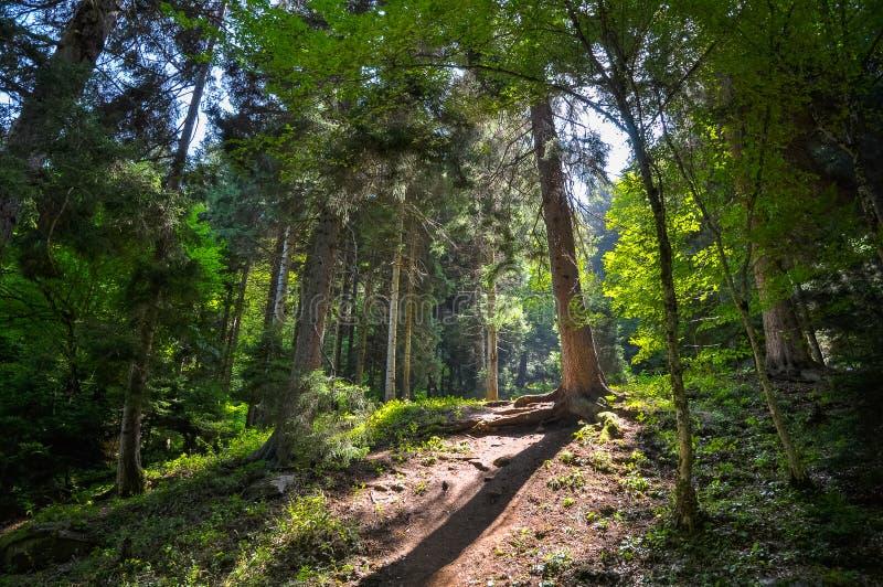 美丽如画的道路在一个晴朗的夏天森林里 库存图片