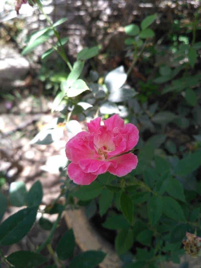 美丽桃红色的花 库存照片