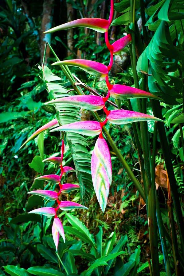 美丽的桃红色heliconia花在热带森林里 免版税库存图片