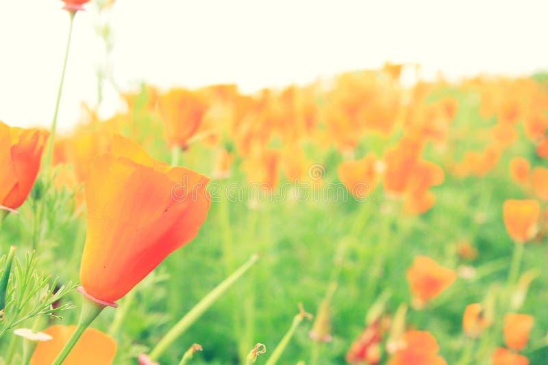 美丽植物橙色鸦片花在葡萄酒颜色样式的庭院公园 免版税库存照片