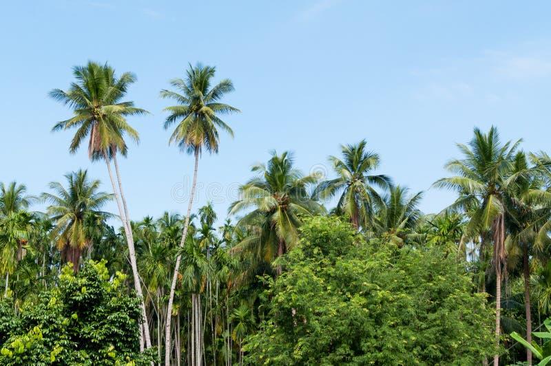 美丽的两棵可可椰子树在有蓝天的热带森林里在海岛 免版税库存照片