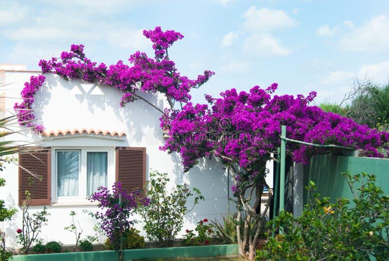 美丽的九重葛和白色房子 免版税图库摄影