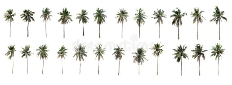 美丽的二十四棵可可椰子树在庭院里 免版税库存图片