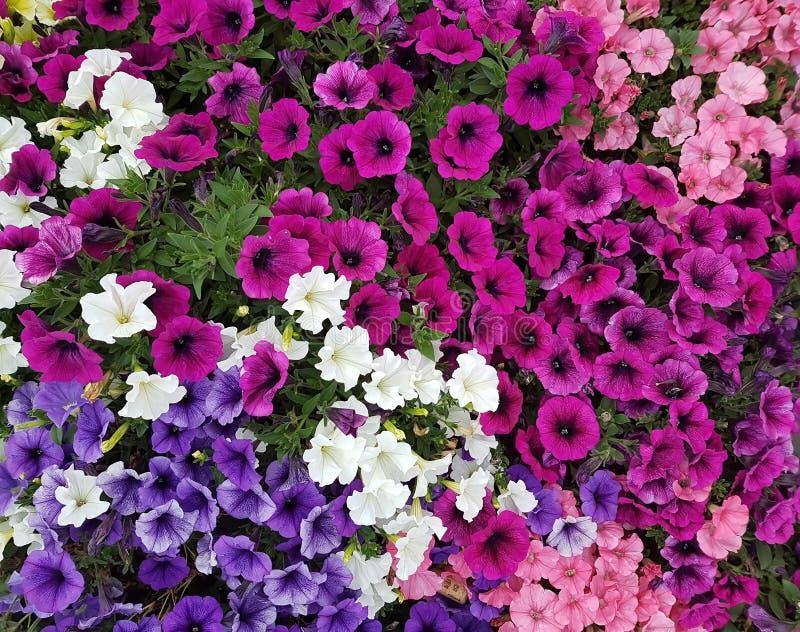 美丽的五颜六色的喇叭花 图库摄影