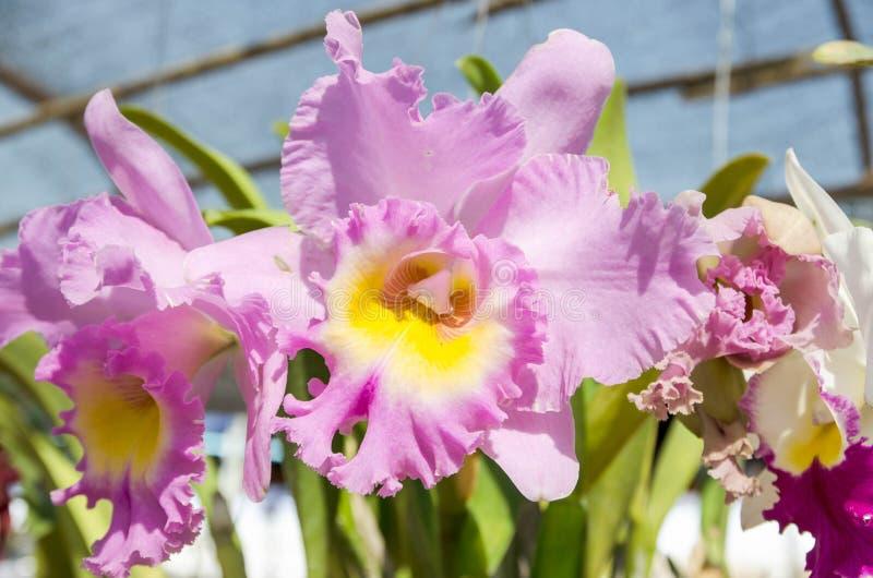 美丽的五颜六色的桃红色兰花在自然本底中 库存图片