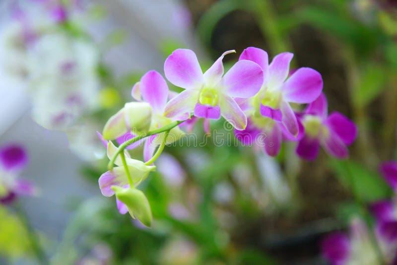 美丽的五颜六色的桃红色紫色兰花花 植物布置,墙纸,背景,花耕种,温室,自然 库存照片