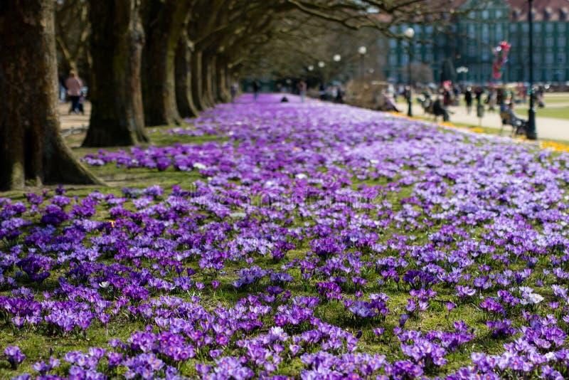 美丽的五颜六色的番红花在一个大城市停放 春天flowe 免版税库存照片