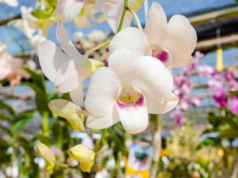 美丽的五颜六色的白色兰花在自然本底中 免版税库存图片