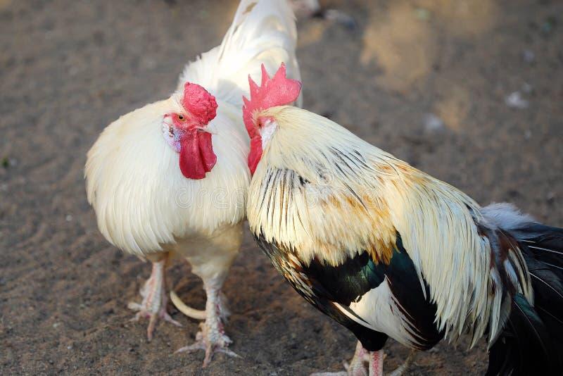 美丽的五颜六色的雄鸡在村庄在夏天 免版税图库摄影