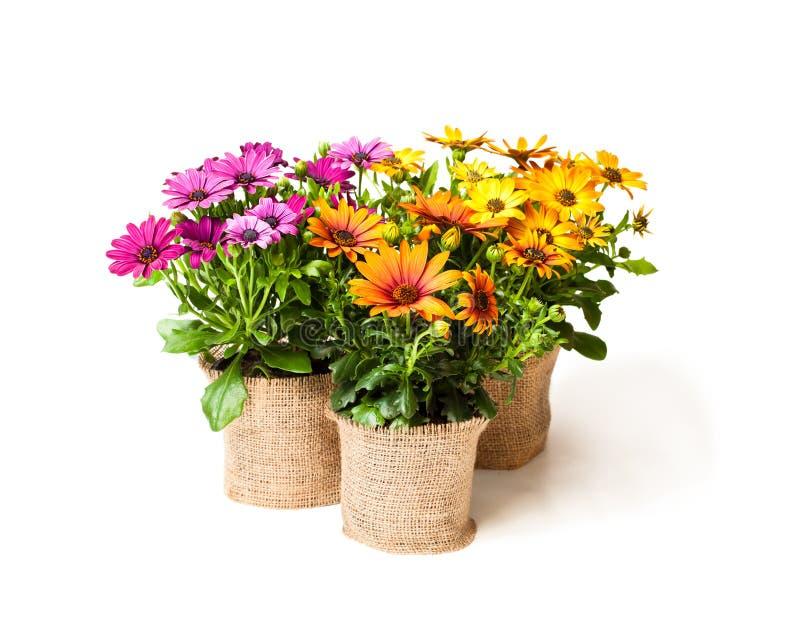 美丽的五颜六色的雏菊在用s装饰的小罐开花 库存图片